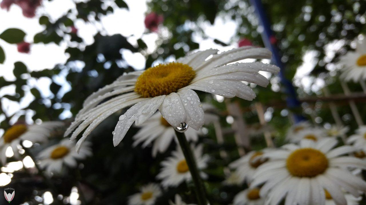 Bitkiler Hava Tahmininde Bulunabilir Mi