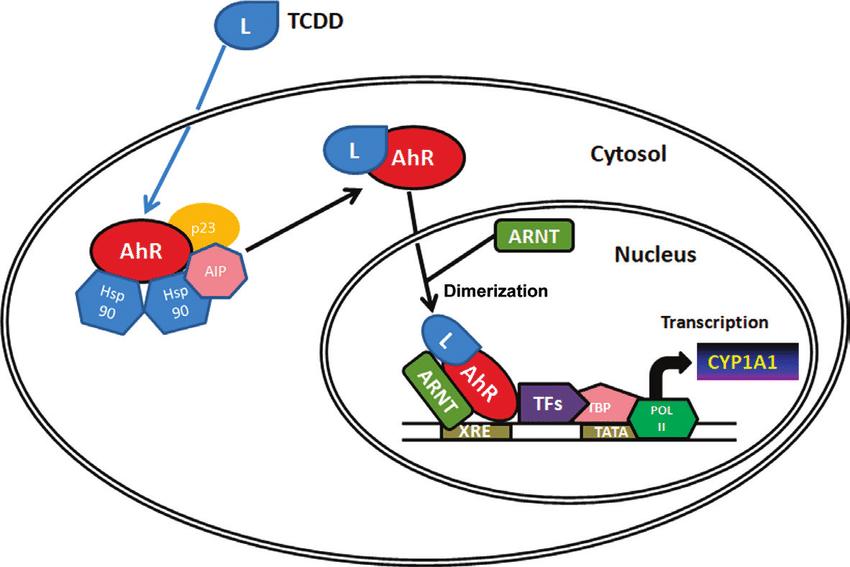 Aril hidrokarbon Reseptör Sinyal Yolağı