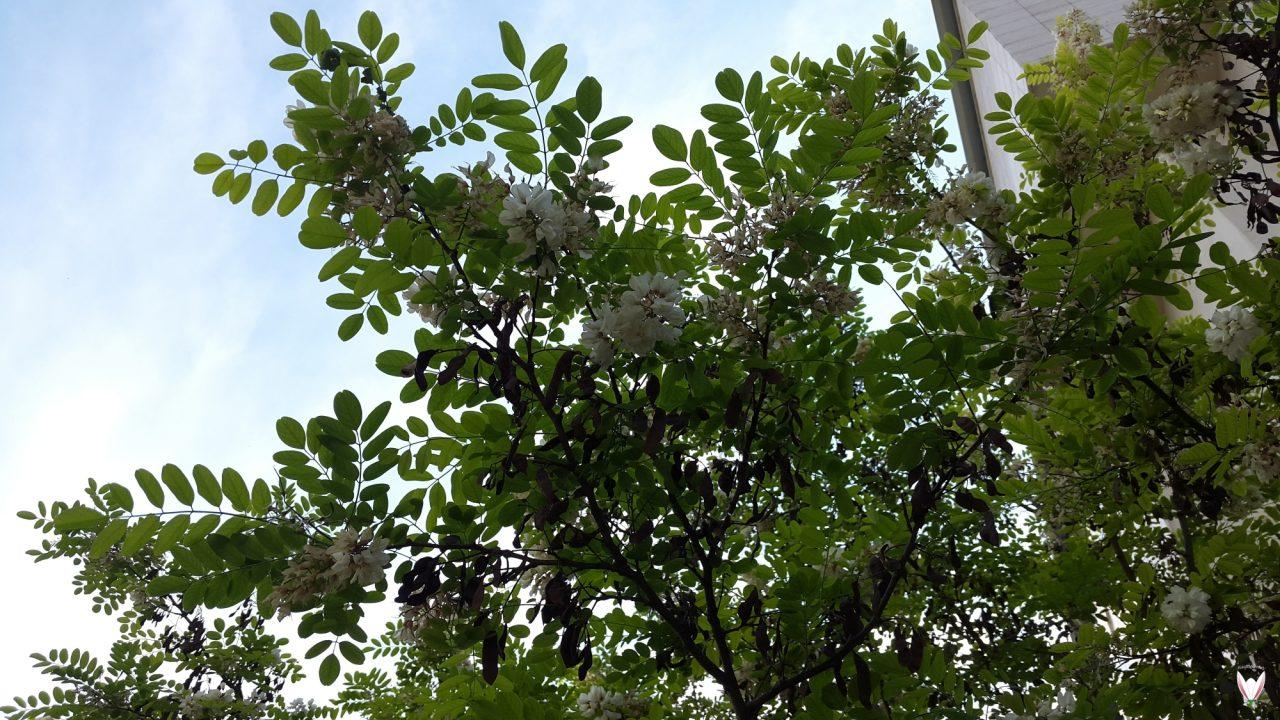 Robinia-pseudoacacia-Meu-1280x720.jpg
