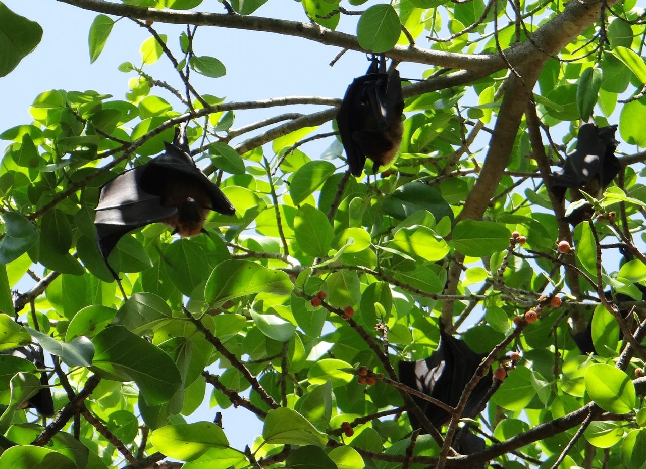 Fig-and-Bats-1280x929.jpg